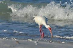 ibis stock fotografie