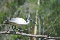 ibis Стоковые Изображения