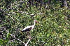Ibis Imagen de archivo
