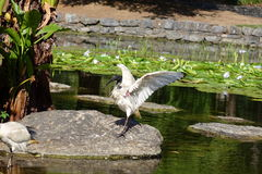 ibis Royaltyfria Foton