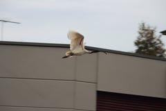 ibis Foto de archivo
