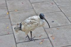 ibis Photos libres de droits