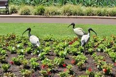 ibis Photo libre de droits