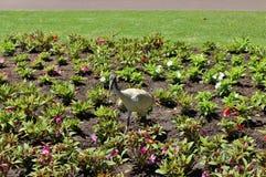 ibis Photos stock