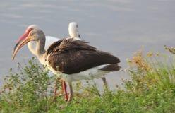 ibis Arkivfoton