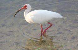 ibis Royaltyfria Bilder