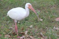 ibis Arkivbild