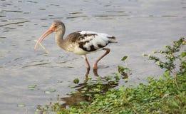 ibis Image stock