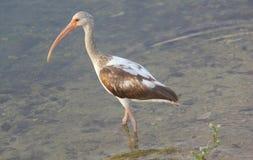 ibis Arkivbilder