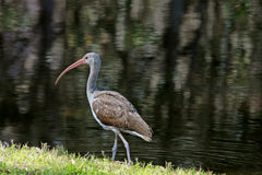 Ibis Royalty Free Stock Photos