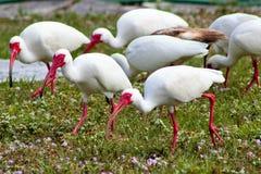 Ibis bianchi Fotografia Stock