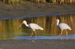 Ibis bianchi americani (albus di Eudocimus) che pescano nelle prime ore del mattino in un lago basso Immagine Stock