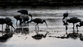 Ibis bianchi che foraggiano, J n Ding Darling National Wildlife R immagine stock libera da diritti