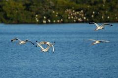 Ibis bianchi in volo Immagini Stock Libere da Diritti