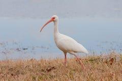 Ibis bianco Fotografia Stock Libera da Diritti