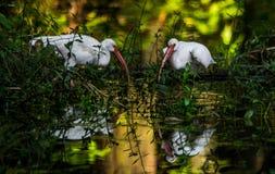 Ibis bianco 2 Fotografia Stock