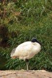 Ibis bianco Fotografie Stock
