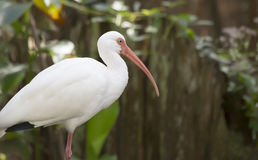 Ibis bianco Immagine Stock