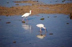 Ibis bianco immagini stock