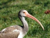 Ibis bianco acerbo Fotografia Stock