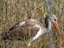 Ibis bianco acerbo vicino al lago Fotografia Stock Libera da Diritti