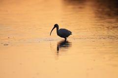 Ibis bianco ad alba Fotografia Stock