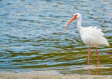 Ibis bianco alla riserva acquatica della baia del limone in Cedar Point Environmental Park, la contea di Sarasota Florida fotografia stock libera da diritti