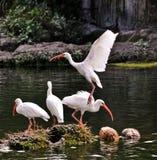 Ibis bianco americano Immagini Stock