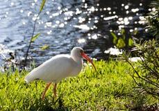 Ibis bianco americano (albus di Eudocimus) alla ricerca di alimento fotografia stock libera da diritti