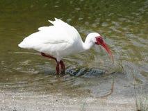 Ibis bianco americano che sta in un lago Fotografie Stock