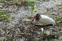 Ibis bianco americano del bambino Fotografie Stock Libere da Diritti