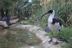 Ibis bianco australiano immagini stock