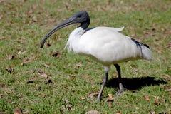 Ibis bianco australiano Fotografie Stock Libere da Diritti