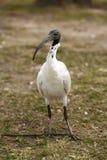 Ibis bianco australiano Fotografia Stock Libera da Diritti