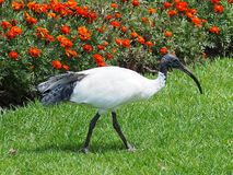 Ibis bianco australiano Fotografia Stock