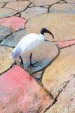 Ibis bianco australiano Immagini Stock Libere da Diritti