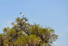 Ibis bianco australiano: Allerta superiore dell'albero Fotografia Stock Libera da Diritti