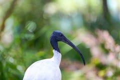 Ibis bianco australiano contro vegetazione Fotografia Stock