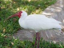 Ibis bianco che contempla Fotografie Stock