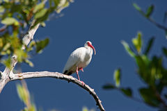 Ibis bianco che si leva in piedi su un piedino Fotografia Stock Libera da Diritti
