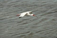 Ibis bianco che vola in basso sopra l'acqua bassa in Florida Fotografia Stock