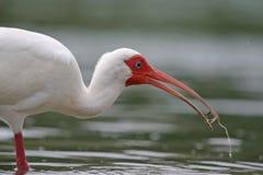 Ibis bianco con acqua in becco Fotografia Stock