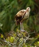 Ibis bianco giovanile Fotografie Stock Libere da Diritti