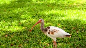Ibis bianco giovanile Immagini Stock Libere da Diritti