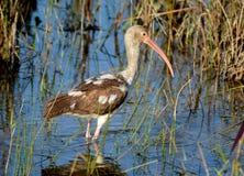 Ibis bianco giovanile Fotografie Stock