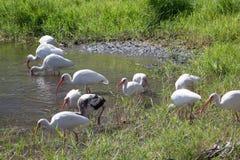 Ibis bianco nel lago Immagini Stock Libere da Diritti