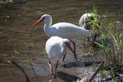 Ibis bianco nel lago Immagine Stock Libera da Diritti