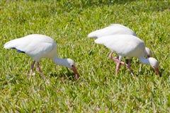 Ibis bianco nell'erba Fotografia Stock