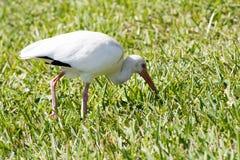 Ibis bianco nell'erba Immagine Stock