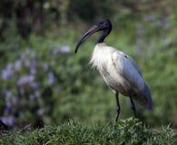 Ibis bianco orientale (Threskiornis Melanocephalus) Fotografie Stock